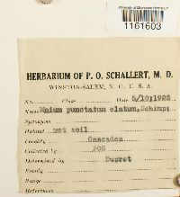 Rhizomnium appalachianum image