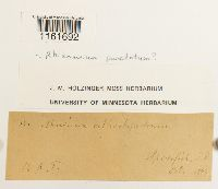 Rhizomnium punctatum image
