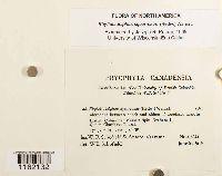 Rhytidiadelphus squarrosus image