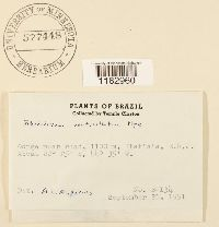 Bryum grandifolium image