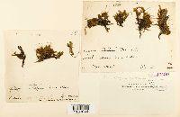 Platyhypnidium riparioides image