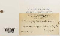 Scopelophila ligulata image
