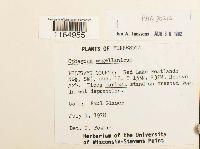 Sphagnum magellanicum image