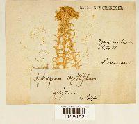 Sphagnum recurvum image