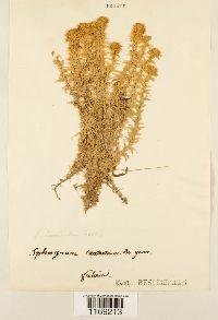 Sphagnum subsecundum image