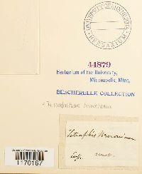 Tetrodontium brownianum image