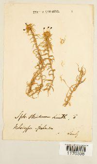 Sphagnum strictum image