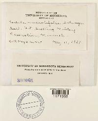 Tortula mucronifolia image