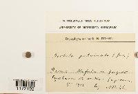 Tortula virescens image