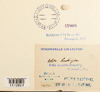 Ulota hutchinsiae image