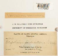 Vesicularia vesicularis image