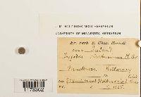 Zygodon viridissimus image