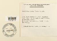 Weymouthia mollis image