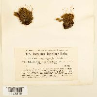 Dicranum flagellare image