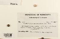 Plagiochila asplenioides image