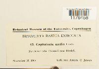Fuscocephaloziopsis lunulifolia image