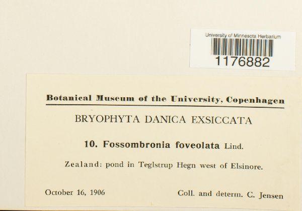 Fossombronia foveolata image