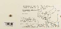 Gackstroemia magellanica image