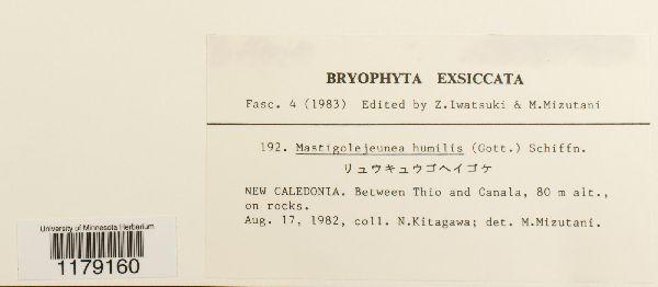 Thysananthus humilis image