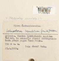 Solenostoma gracillimum image