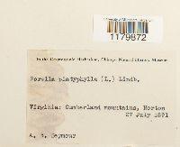Porella platyphylla image