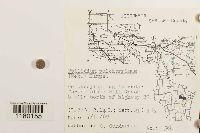 Ptilidium pulcherrimum image