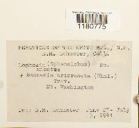 Anastrophyllum minutum image