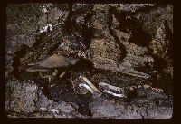 Psathyrella submaculata image