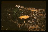 Polyporus elegans image
