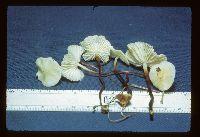 Marasmius delectans image