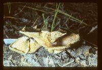 Lentinus strigosus image