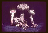 Strobilomyces strobilaceus image