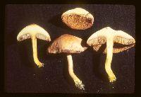 Chalciporus piperatus image