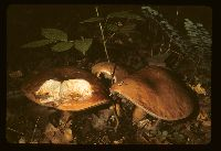 Tylopilus felleus image