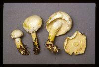 Tricholoma sulphurescens image