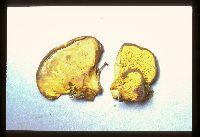 Paxillus corrugatus image
