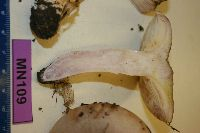 Lactarius pseudouvidus image