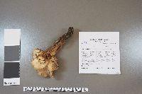 Lentinellus cochleatus image