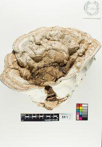 Image of Ganoderma applanatum