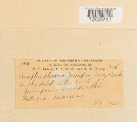 Amphisphaeria juniperi image