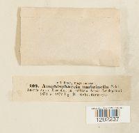 Image of Amphisphaeria umbrinella