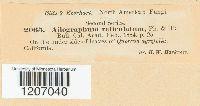 Aulographum reticulatum image