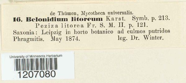 Belonidium litoreum image