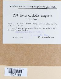Image of Botryodiplodia congesta