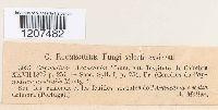 Capnodium araucariae image