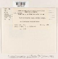 Ceratocystis pilifera image