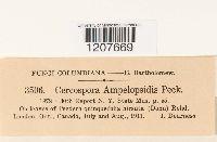 Cercospora ampelopsidis image