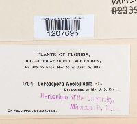 Cercospora asclepiadis image
