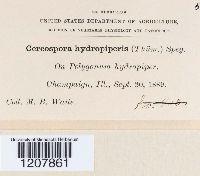 Cercospora hydropiperis image