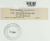Cercospora zebrina image